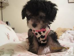 small female tiny toy poodle