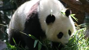 free panda bear wallpaper hd