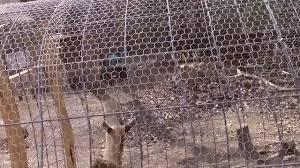Cattle Panel Chicken Coop Youtube