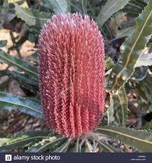 This Banksia flowering during Autumn, May, in an Australian park Stock  Photo - Alamy
