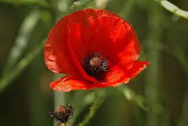 poppies became more than just flowers