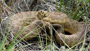 Outdoor Briefs Safety Tips For Rattlesnakes