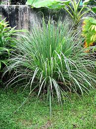 citronella plant keeps mosquitoes away