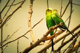 wallpapers for mobile love birds hd