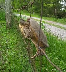 Get Me To The Country A Fence Climbing Turtle