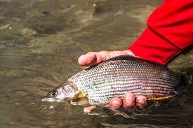 Hasil gambar untuk Whieldon Fly Fishing online store