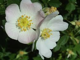 أجمل صور ورود حب ورومانسية لطيفة جدا Rose Bush Rose Wild Roses