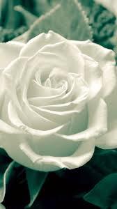 rose 720x1280 wallpaper id 605923