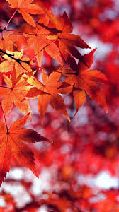red leaf iphone wallpapers top free