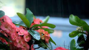 مشاهد للمونتاج مطر أمطار ورود ورد طبيعة Hd حصريا على اطلب مونتاجك