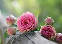 planting growing and pruning roses