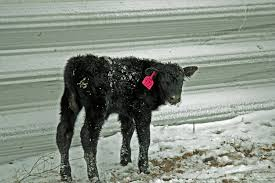 Windbreaks For Protection And Snow Diversion Unl Beef
