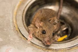 How To Get Rid Of Rats Naturally Natural Rat Repellent Guide Install It Direct
