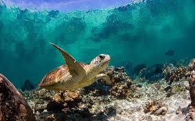 hd wallpaper sea turtle swimming baby
