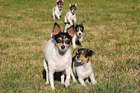 all about toy fox terrier dog breed