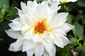 صور ورود بيضاء صور ورد ابيض صور ورد جميل اجمل الصور