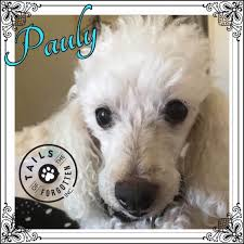 male poodle dog in qld petrescue