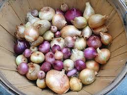 how to harvest and cure your onion crop