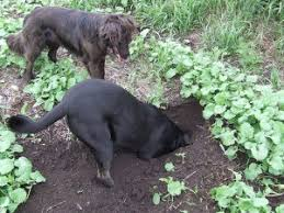 Prevent Dog Digging How To Stop A Dog From Digging Zoom Room Dog Training