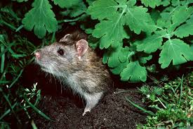 How To Deal With Rats In The Garden Bbc Gardeners World Magazine