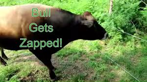 Solar Electric Fence Set Up For Cows So Cool Seeing Cows On Fresh Paddock Youtube