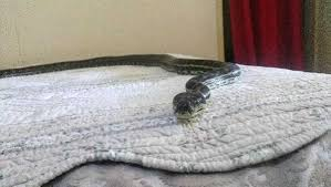 python falls from ceiling lands on bed