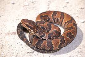 water moccasin cottonmouth snakes