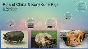 poland china & the kunekune pig by colton running