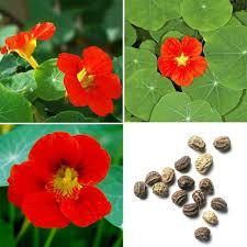 140x seeds empress of india nasturtiums