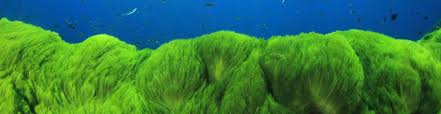 hair algae causes how to get rid of