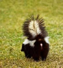 Image result for skunks spraying