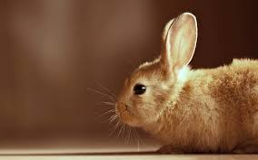 cute rabbit wallpapers hd desktop