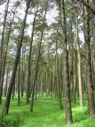 Pine wood, Ada Hill © Callum Black :: Geograph Britain and Ireland