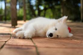 samo dog dogs canine baby puppy