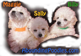 poodle puppies texas abounding poodles