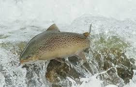 wallpaper water fish brown trout