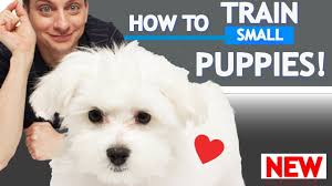how to train small puppies you