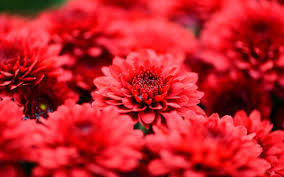 red flower images yellow blue