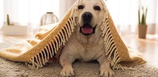 pet urine from carpets