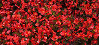 red flowers free stock photo public