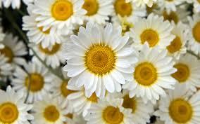 صور عباد شمس أبيض Fresh White Sunflowers صور ورد وزهور Rose