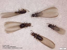 30+ Black Termites  Images