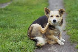 dog dandruff causes symptoms and how