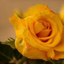 صورة وردة صفراء حلوة Yellow 4k Rose Wallpaper صور ورد وزهور Rose