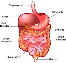 Digestive System - 2nd Period Group 7 Tennis