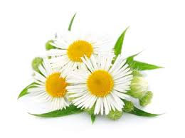 Gout and Chamomile - Experiments on Battling Gout