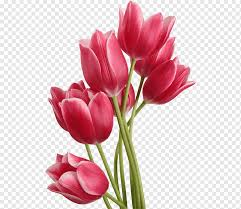 tulip flower tulips image file