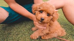we got a toy poodle puppy you