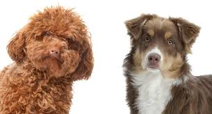 miniature poodle australian shepherd mix