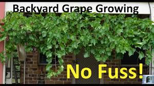 No Fuss Backyard Grape Growing Pruning Propagating Youtube